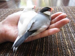 文鳥 とは?生態や寿命。どう飼うの?